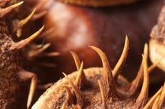 Horse chestnuts macro Royalty Free Stock Image