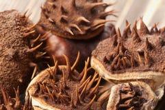 Horse chestnuts macro Royalty Free Stock Photo