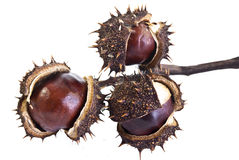Horse Chestnuts Opening Stock Images