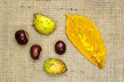 Horse chestnuts still life Stock Photos