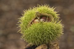 Horse chestnuts in their case stock photos