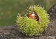 Horse chestnuts in their case royalty free stock photo