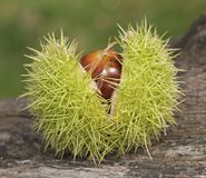 Horse chestnuts in their case stock photo