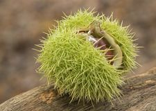 Horse chestnuts in their case royalty free stock images