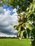 Horse-chestnuts on tree Royalty Free Stock Photos