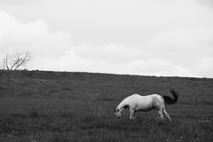 Horse/Cheval. A white horse with a black mane in a field with a dead tree. Black and white. / Un cheval blanc à la crinière noire dans un champ avec un arbre Royalty Free Stock Photo