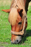 Horse chewing the grass. Close-up Stock Photo