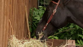 Horse chewing hay. stock video