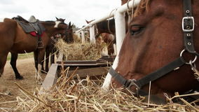 Horse chewing hay. stock footage