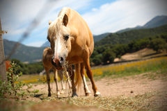 Horse chewing on the pasture Royalty Free Stock Image