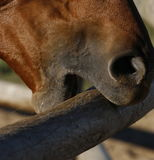 Horse chewing on railing Stock Image