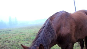 Horse chewing on something then bowing down to eat more grass stock video