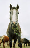 Horse Chewing The Grass. Stock Photos