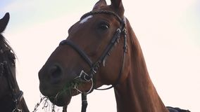Funny look of a horse in the camera. Horse chews the grass. Nice horse outdoors. Beautiful horses. Girl holds horse for the reins. A funny look of a horse in the stock video