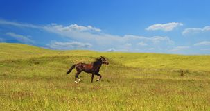 Horse of cinnamon color runs freely at a gallop at the will of bright juicy hills with green grass royalty free stock photos