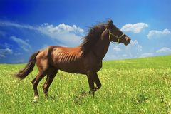 Horse of cinnamon color runs freely at a gallop at the will of bright juicy hills with green grass stock image