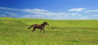 Horse of cinnamon color runs freely at a gallop at the will of bright juicy hills with green grass royalty free stock images