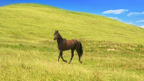 Horse of cinnamon color runs freely at a gallop at the will of bright juicy hills with green grass royalty free stock photography