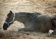 Horse cleaning itself. Stock Photography