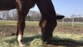 Horse on the catwalk,horse eating hay stock video