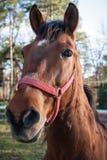 Horse close portrait Stock Image