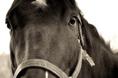 Horse Close-Up. Subtle sepia-toned closeup image of a thoroughbred race horse Royalty Free Stock Photo