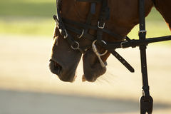 Horse Close Up. A close-up image of the head of a horse in reins Royalty Free Stock Photography