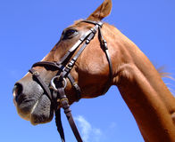 Horse close-up. Hi-res images of horse head stock photography