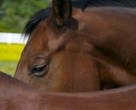 Horse close up. A close up of a brown horse Stock Photos