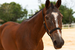 Horse close up. The brown horse close up Royalty Free Stock Photos