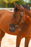 Horse close up. Brown horse close up in the arena Royalty Free Stock Photos