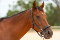 Horse close up. Brown horse close up in profile Royalty Free Stock Photo