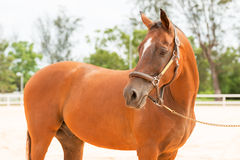 Horse close up. The brown standing horse in arena Stock Image