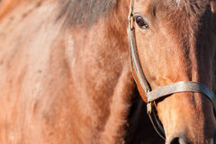 Horse Close Up. Close up a chesnut horse in bright sunlight royalty free stock photo