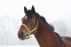 Horse close up in fog Stock Photography