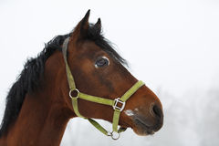 Horse close up in fog Stock Images