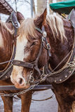 Horse close-up. Horse in harness close-up Stock Image