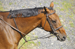 Horse close up Stock Images