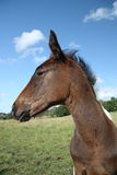 Horse in close up. A close up photo of a horse in a field Stock Photos