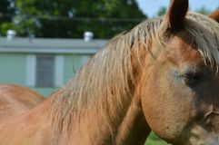 Horse Close Up. Picture of a sorrel Morgan horse Stock Photo