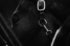 Horse Close Up. A stunning close up of a horse in black and white Stock Photography