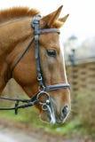 Horse closeup. Portrait on nature background Stock Images