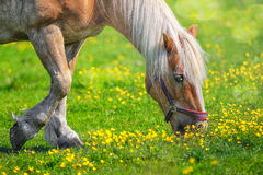 Horse closeup outdoors on a sunny day. Grazing horse closeup outdoors on a sunny day with wilflowers Royalty Free Stock Image