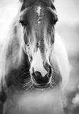 Horse closeup. Purebred horse closeup in monochrome tones Royalty Free Stock Image