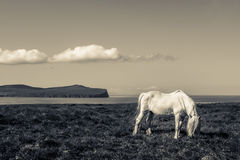 Horse coastal black and white. Black and white shot of a white horse against a coastal backdrop in summer Royalty Free Stock Photos