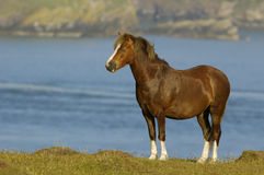 Horse on coastal grassland Royalty Free Stock Image