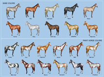 Horse color chart. Chart of the 22 main horse coat colors Royalty Free Stock Photo