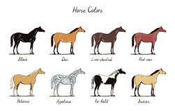 Horse color chart set. Equine coat colors with text. Types of horses black, dun, chestnut, red roan, palomino, appaloosa, buckski royalty free illustration