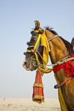 Horse with colorful bridle in India Stock Image