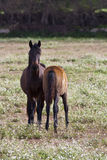 Horse and colt. In a meadow Royalty Free Stock Images